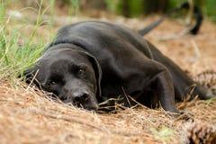 Black Labrador Retriever Dog Laying Down Royalty Free Stock Photos