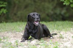 Black Labrador Retriever dog laying down in sand Stock Photography