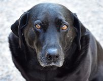 Black Labrador Retriever Dog Looking Portrait. Closeup portrait of a beautiful Labrador Retriever dog with brown eyes looking straight ahead royalty free stock image