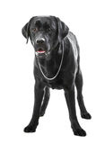 Black labrador retriever dog lying on isolated white Stock Images