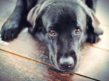Black Labrador Retriever Dog. Lying On A Wooden Floor Royalty Free Stock Photo