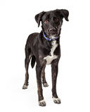 Black Labrador Retriever Dog Mix Standing Stock Photography