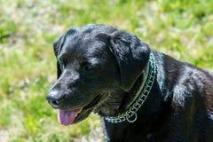 Black Labrador retriever dog portrait. Beautiful big old dog. Stock Photos