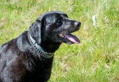 Black Labrador retriever dog portrait. Beautiful big old dog. Stock Images