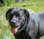 Black Labrador retriever dog portrait. Beautiful big old dog. Royalty Free Stock Photo