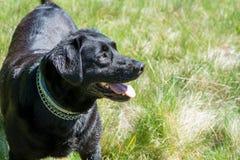 Black Labrador retriever dog portrait. Beautiful big old dog. Royalty Free Stock Photography