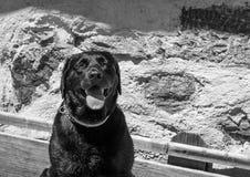 Black Labrador retriever dog portrait. Beautiful big old dog. Stock Photography