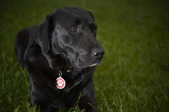Black labrador retriever dog on the grass Stock Photo