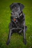 Labrador retriever dog black on the grass Royalty Free Stock Photography