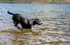 Black Labrador Retriever dog retrieving tennis ball through blue Royalty Free Stock Images