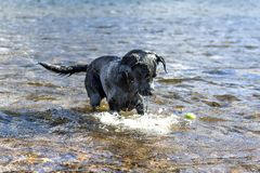 Black Labrador Retriever dog retrieving tennis ball through blue Stock Photos