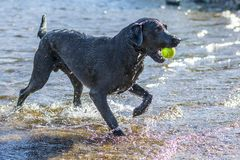 Black Labrador Retriever dog retrieving tennis ball through blue Stock Image