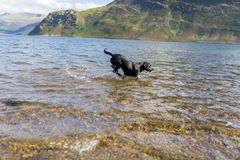 Black Labrador Retriever dog retrieving tennis ball through blue Stock Photo