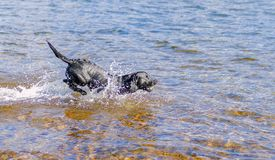 Black Labrador Retriever dog retrieving wtennis ball through blu Stock Image