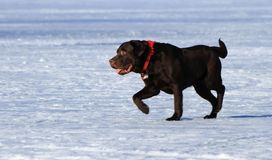 Labrador retriever dog Royalty Free Stock Photography