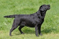 Black Labrador Retriever in the garden Royalty Free Stock Photos