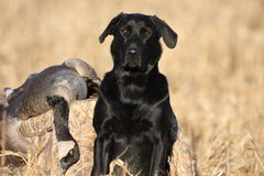 Black Labrador Retriever with a goose. Hunting scene in North Idaho of a black Labrador Retriever with a goose Royalty Free Stock Image