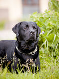 Black labrador Royalty Free Stock Photography