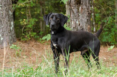 Black Labrador Retriever Great Dane Mixed Breed. Black Labrador Retriever, Walton County Animal Control, humane society adoption photo, outdoor pet photography Stock Images
