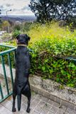 Black Labrador Retriever in green hedge.  Royalty Free Stock Photo