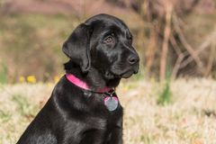 Black Labrador puppy portrait. The black Labrador Retriever is a handsome dog with a sleek, water-resistant black coat. With his family-friendly reputation royalty free stock photo
