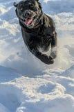 Black labrador-retriever hurtling through the snow Royalty Free Stock Photography