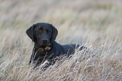 A Black Labrador Retriever laying down in the grass Royalty Free Stock Images