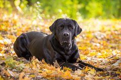 Black labrador retriever lying down on autumn forest royalty free stock images