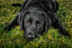 Black labrador retriever lying on the gras. Looking into the camera Royalty Free Stock Image