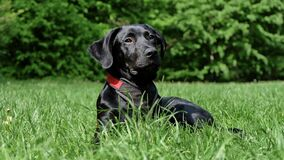 Black Labrador Retriever Lying on Grasses Stock Image