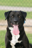 Black labrador retriever mix royalty free stock image