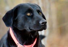 Black Labrador Retriever mixed breed dog Stock Photos