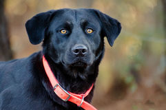 Black Labrador Retriever mixed breed dog Royalty Free Stock Image