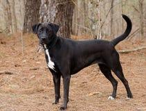 Black Labrador Retriever mixed breed dog Royalty Free Stock Photo