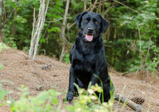 Black Labrador Retriever Mixed Breed Dog. Black Labrador Retriever , Walton County Animal Control, humane society adoption photo, outdoor pet photography Royalty Free Stock Images