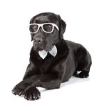 Black Labrador Retriever Royalty Free Stock Photography