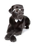 Black Labrador Retriever Royalty Free Stock Photos