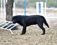 Black Labrador Retriever Out For a Romp in the Yard. Pedigree Black Labrador Retriever getting some exercise in the yard. Gorgeous color and lines Royalty Free Stock Photos