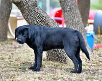 Black Labrador Retriever Out For a Romp in the Yard. Pedigree Black Labrador Retriever getting some exercise in the yard. Gorgeous color and lines Royalty Free Stock Image