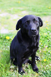 Black labrador retriever Royalty Free Stock Images