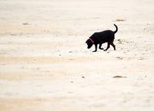 A black Labrador retriever playing on a sandy beach. stock photo