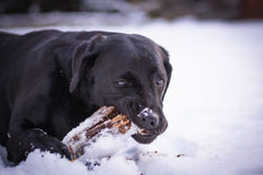 Black Labrador Retriever is playing with the stick in the winter, snow around a dog Stock Photos