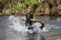 A black labrador retriever is playing in the water Royalty Free Stock Images