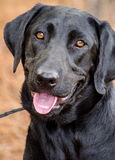 Black Labrador Retriever Portrait Close up Royalty Free Stock Photo