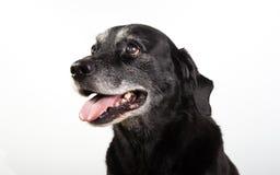 Black labrador retriever Royalty Free Stock Photo