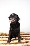 Black labrador retriever Royalty Free Stock Image