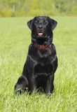 Black Labrador retriever portrait, sitting positio. Portrait of black retriever in sitting position in a grass field Stock Photography