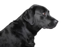 Black Labrador retriever profile Royalty Free Stock Images
