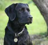 Black labrador retriever puppy. Image shows black labrador sitting with tree in background Royalty Free Stock Images
