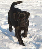 Black Labrador Retriever Puppy Stock Image
